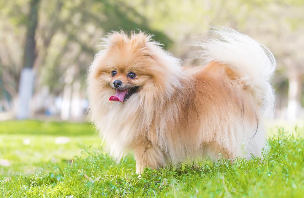 275 Awesome Pomeranians Dog Names To Give You Inspiration ...