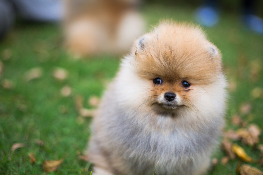 Is The Pomeranians A Good Family Dog Spire Pet